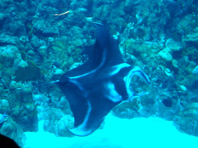 Manta ray in the Grand Aquarium, Ocean Park, Hong Kong
