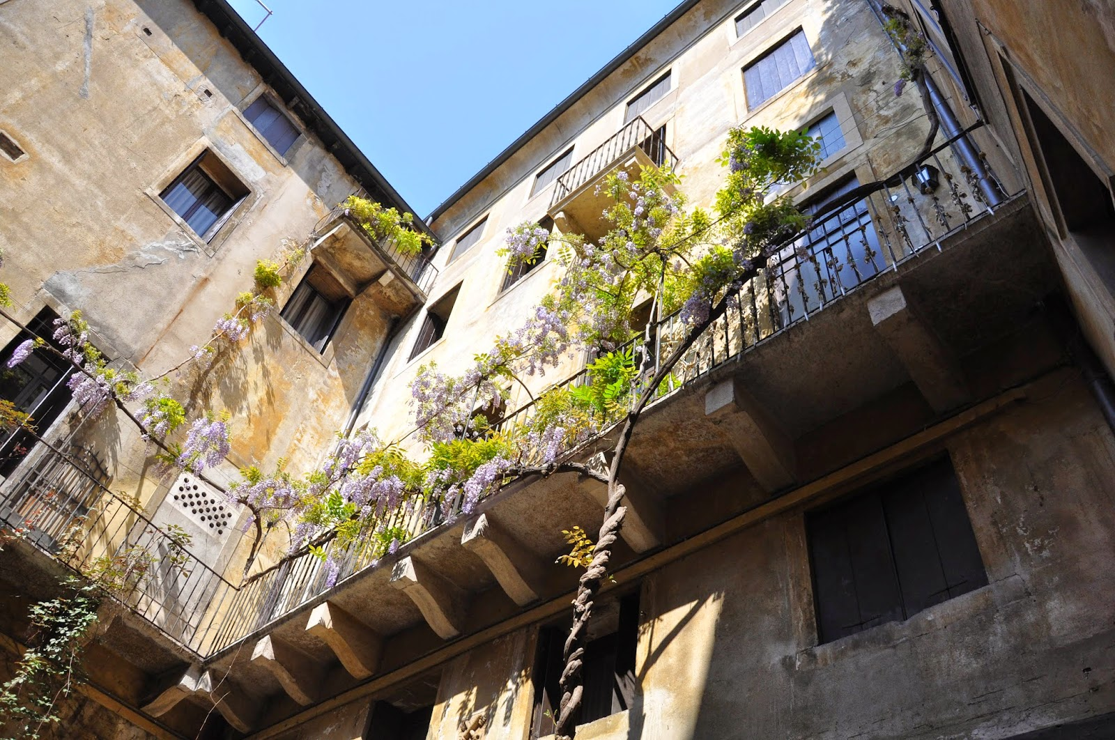 A wisteria tree envelopes the balcony in the courtyard of a house in Vicenza, Italy