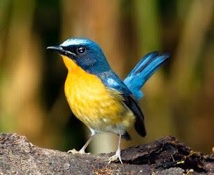 Mengetahui Perbedaan Fisik Burung Tledekan Gunung Dan Bakau Yang Akurat
