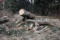 Заготовка еловых дров в Дубраве БГУ