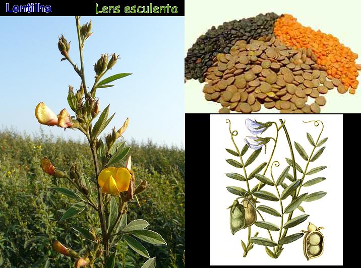 Lentilha, Planta Herbácea