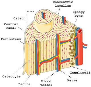 bagian-bagian tulang