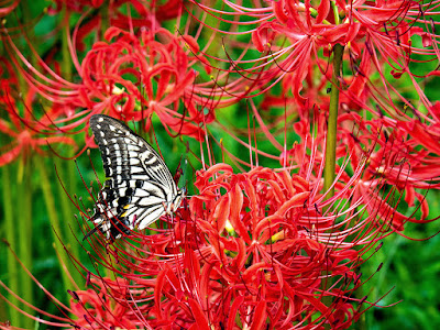 Ageha (Papilio xuthus) butterfly and Higanbana (Lycoris radiata) flowers: Eisho-ji