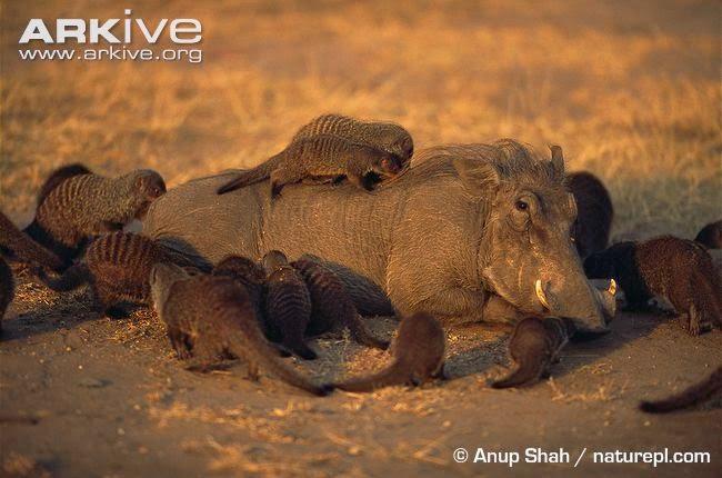 Warthog and mongoose