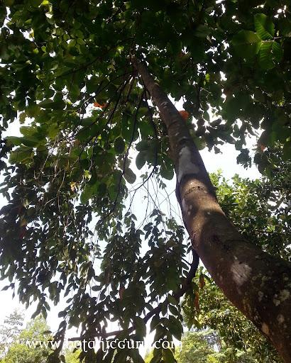 Shorea acuminata, Light Red Meranti, Red Lauan