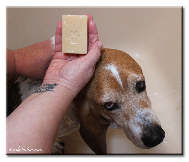 Bathing Bentley Basset Hound with Schatzie's Suds