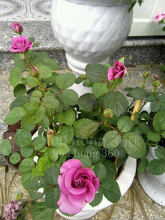chăm sóc hoa hồng