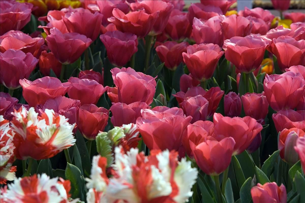 Gambar Bunga Tulip Koleksi Gambar Bagus