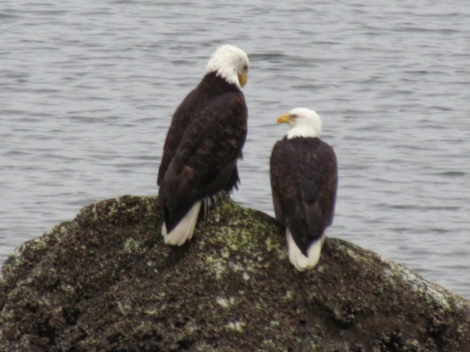 Female Tell Male Eagles Can And You Nc Bald Difference How Between