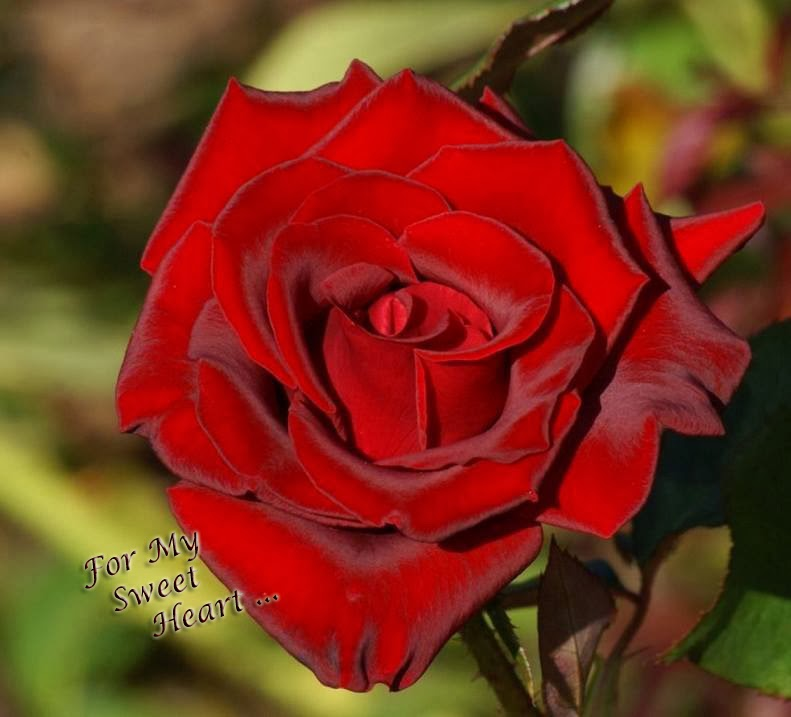 love rose for my sweet heart photo