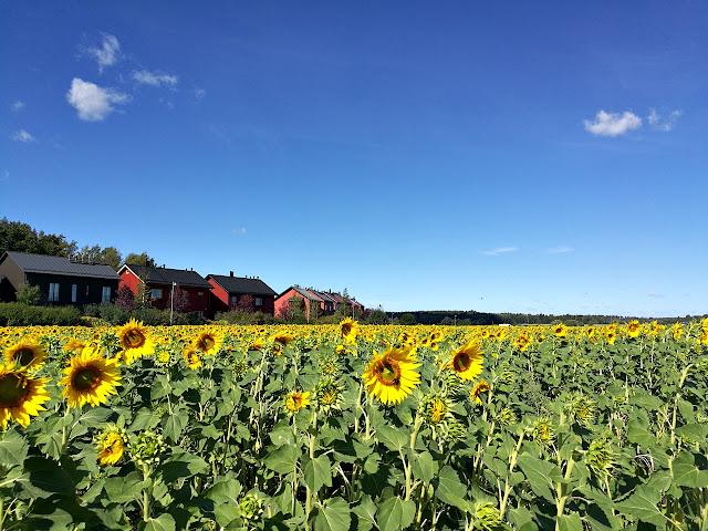 Haltialassa saa poimia auringonkukkia ilmaiseksi
