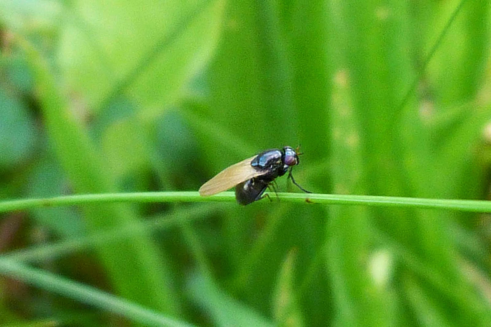 Small Black Flies In Kitchen Insects Of Scotland Other Flies Picture Wing Flies