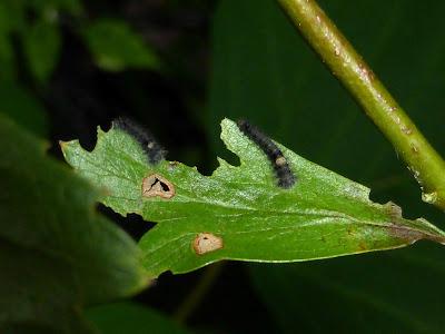 Gastropacha quercifolia caterpillar