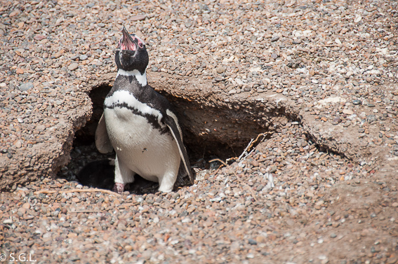 Recorriendo Argentina. Pinguino en la pinguinera de San Lorenzo