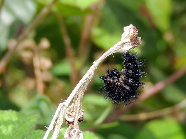 Prepupa de Euphydryas aurinia