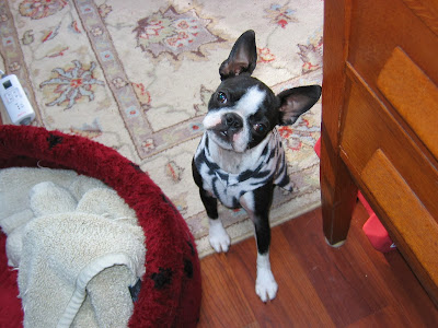 Sinead the Boston terrier doing a head tip