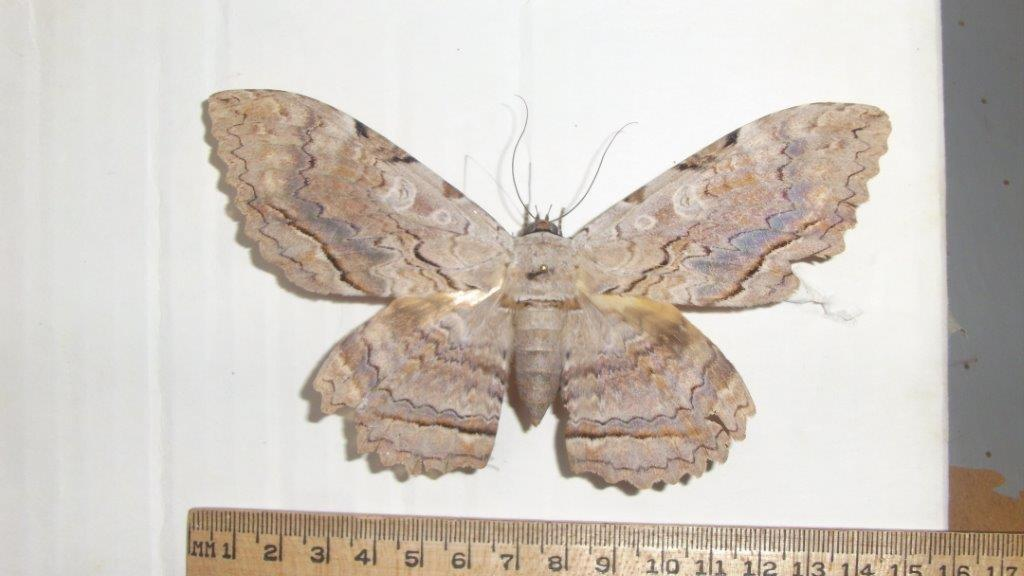 A Tropical Monstrosity In Ohio The Owl Moth