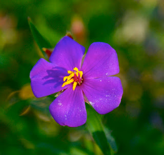pretty purple flower in the australian bush