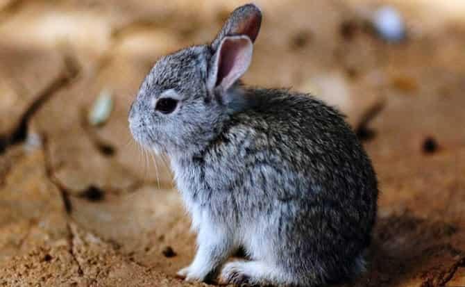 Teporingo, conejos, ecología