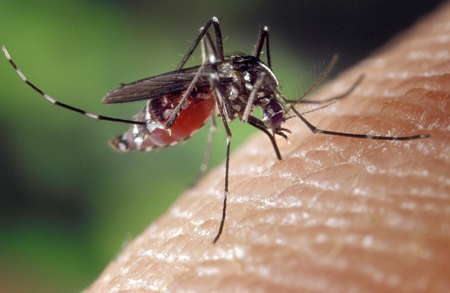 An Aedes albopictus mosquito sucking blood  - Representative image. Image Credit: CDC/James Gathany