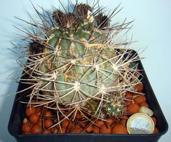 Venta De Cactus Y Suculentas Acanthocalycium Minutum Red Lobivia