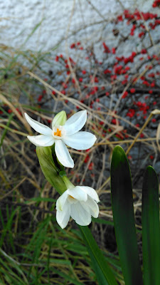 Early January narcissi first daffodil