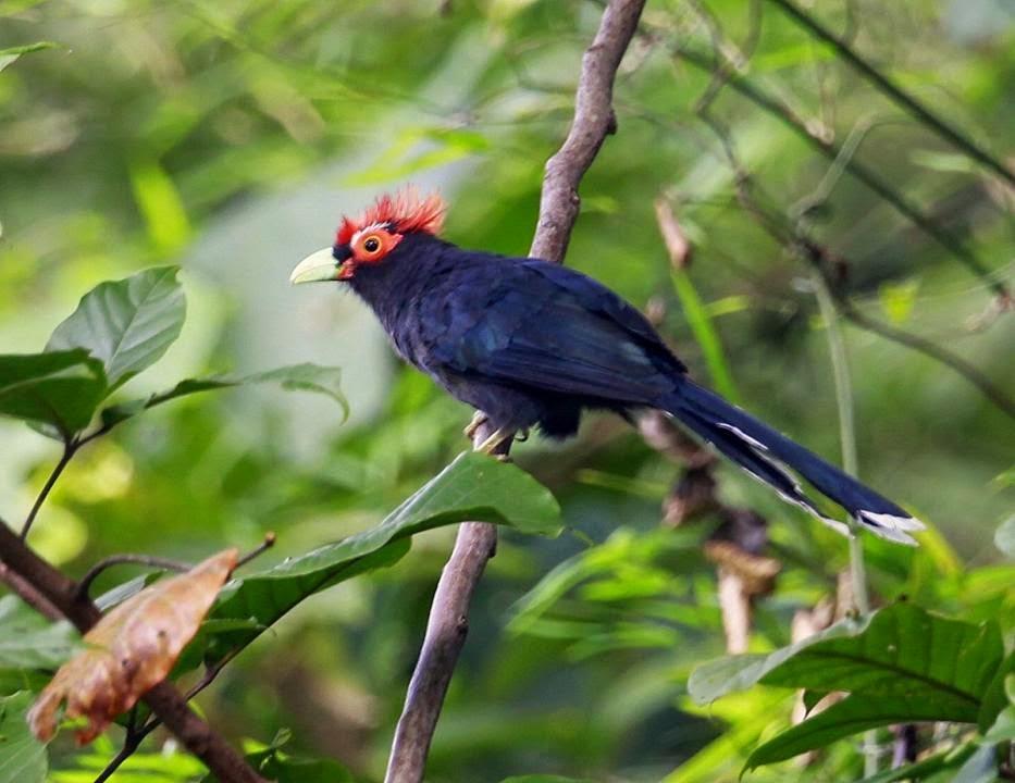 Malcoha cresta roja: Phaenicophaeus Dasylophus supeciliosus