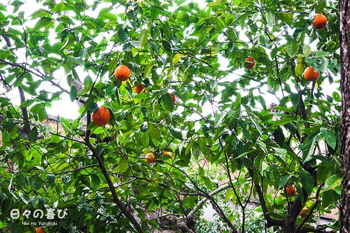 agrumes dans les branches focus