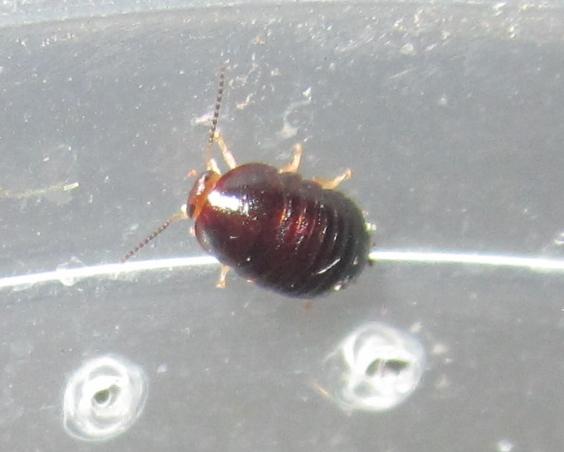 C.pygmaea%252331.JPG