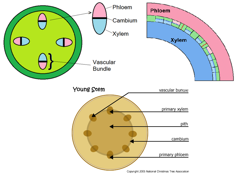 ... bundle in a stem phloem is on the outside and xylem is on the inside