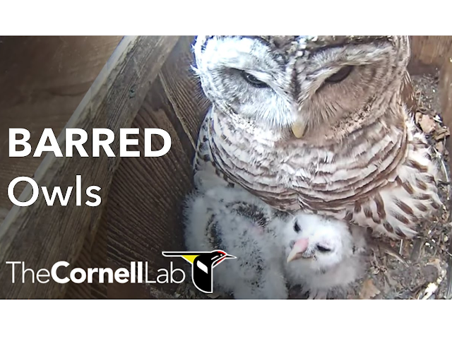 Cornell Lab Barred Owl Webcam Photo