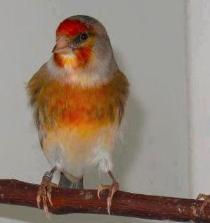 Download suara burung goldfinch mule gacor mantap