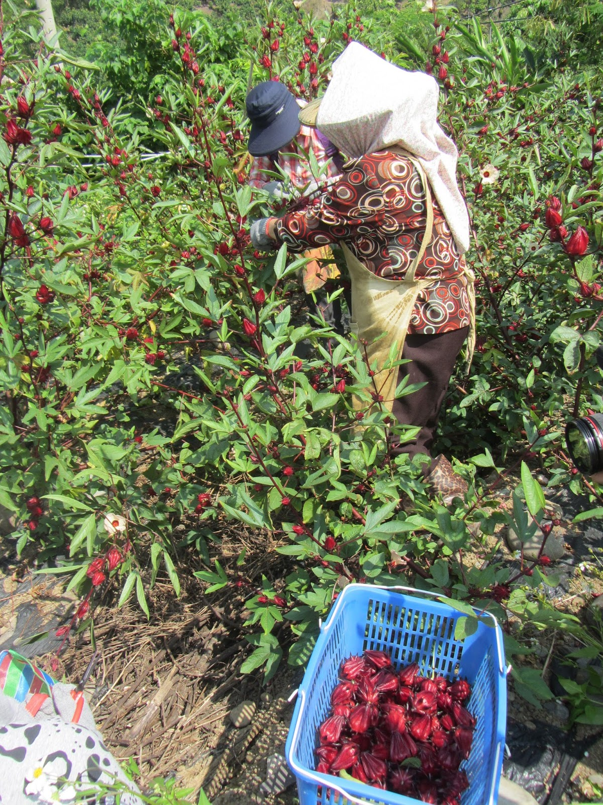 Estudiando Agricultura En Taiwán Rosa De Jamaica Cosecha Y Separación De Cáliz