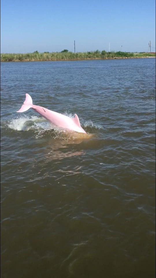 Caught On Camera! Extremely Rare Pink Dolphin Swimming In Louisiana Lake! You've Never Seen Anything Like This Before!