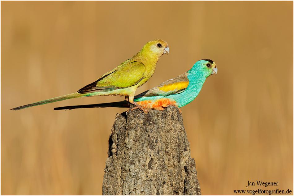 Parrots Planetary Golden Shouldered Parakeet