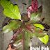 Jual Tanaman Puring Royal Pink Harga Murah