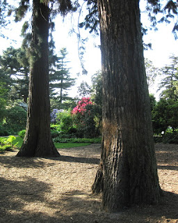 Giant sequoias, John Muir Grove, Royal Botanic Garden, Edinburgh, Scotland