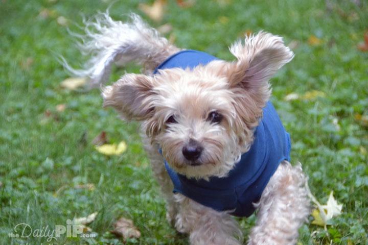 Ruby running through the green grass