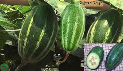 pointed gourd; pointed gourd vegetable