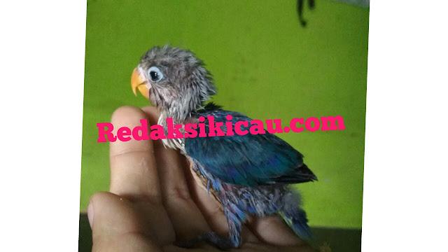 Tips Obati anak Lovebird Muntah - Muntah