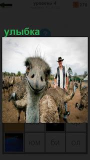Мужчина пастух и страусы, один из которых сделал улыбку