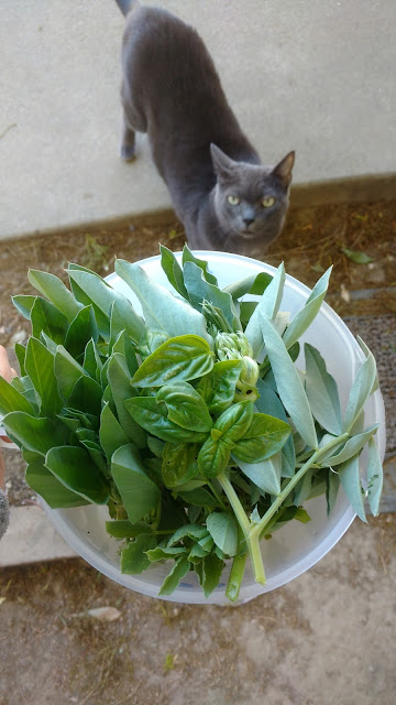 Fava tops, volunteer basil, skeptical cat
