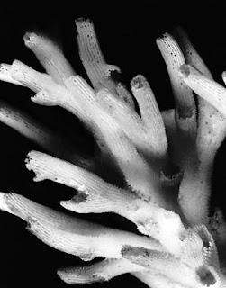 kerangka koralit acropora batunai