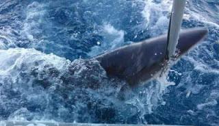 Apa yang terjadi jika hiu hilang dari ekosistem laut