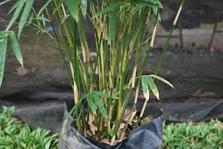 gambar bambu telisik hijau