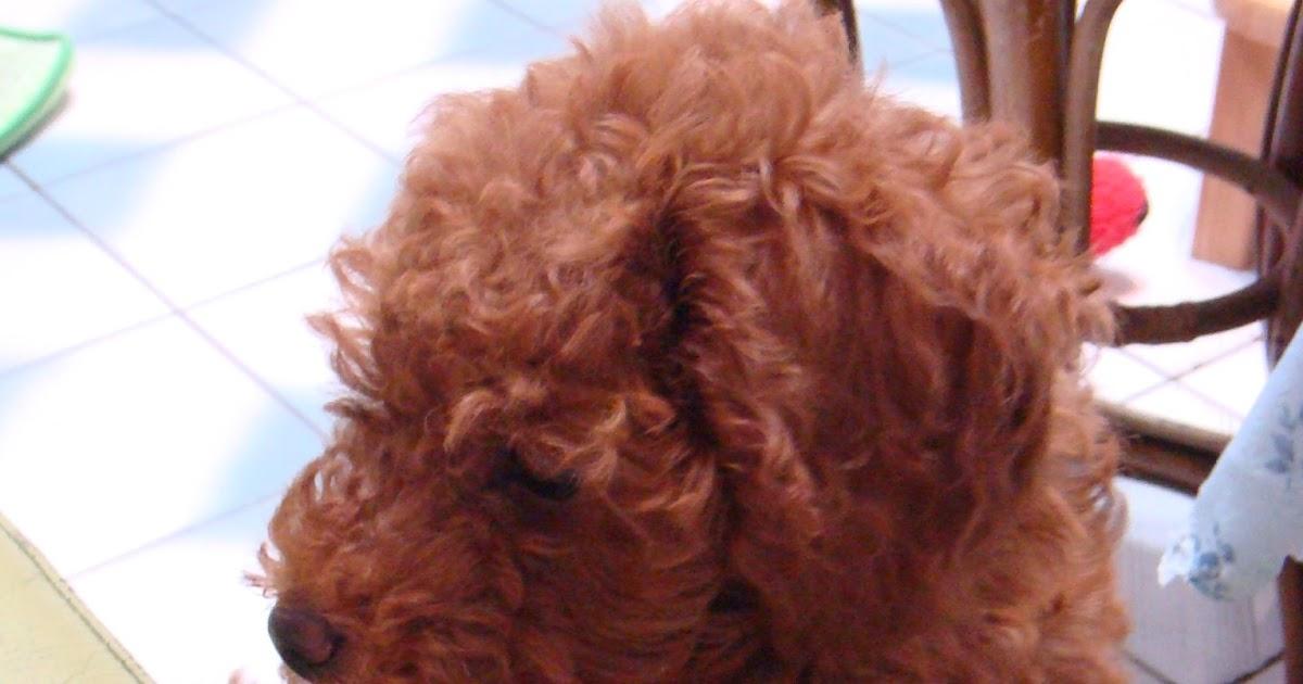 肥油黑與竹竿鹿的亂七八糟生活日誌: [寵物]不愛我的愛犬之貴賓狗教養上篇