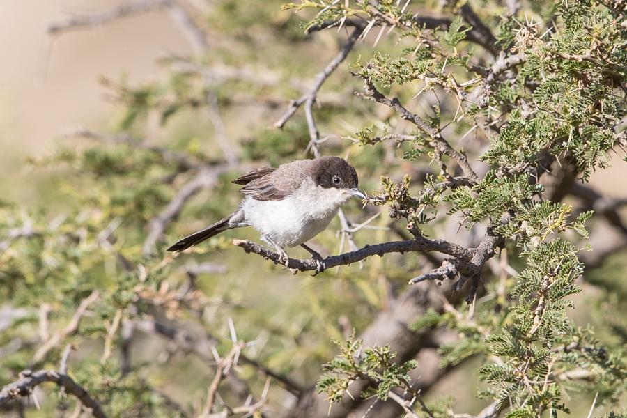 Arabian Warbler – An Namas