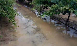 Ηλεία: Μεγάλο πλήγμα στις σταφίδες