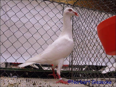 white pigeons - german tumbler