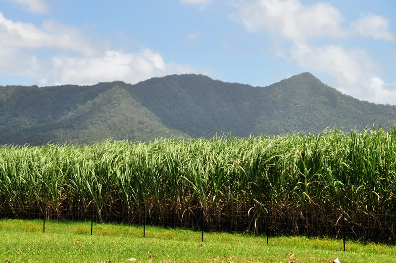 Sugarcane field in Queensland, Australia